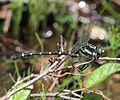 Sieboldius albardae (male).JPG