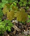 Siewka klonu Aceraceae pl.jpg