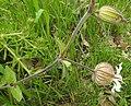 Silene latifolia subsp latifolia 2 RF.jpg