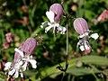 Silene vulgaris ENBLA02.jpg