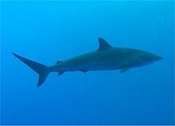 Silky Shark.jpg