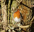 Singing Robin - Flickr - gailhampshire.jpg