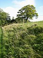 Single oak by the bridleway - geograph.org.uk - 1000274.jpg