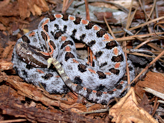 <i>Sistrurus miliarius</i> Species of reptile