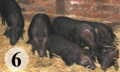 Six Piglets.png