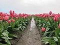 Skagit Valley Tulip Festival 2010 (4488559673).jpg