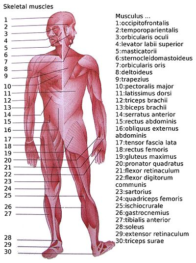 Upper Side Body Diagram http://en.wikipedia.org/wiki/List_of_muscles_of_the_human_body