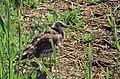Skrattmås Black-headed Gull (14980243661).jpg