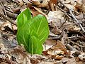 Skunk Cabbage Awakening - Flickr - treegrow (1).jpg