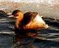 Small-grebe in icy water.jpg