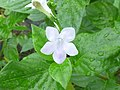 Small Chinese violet (Asystasia gangetica subsp micrantha) flower 1.jpg