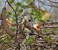 Small Minivet (Pericrocotus cinnamomeus) near Hyderabad W IMG 7660.jpg