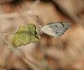 Small Orange-Tip, Colotis etrida in Hyderabad W IMG 5628.jpg