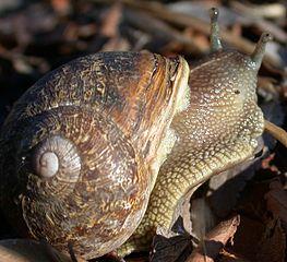 Différents escargots dans ESCARGOT