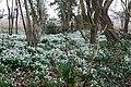 Snowdrops near Woodhouse Farm - geograph.org.uk - 1222349.jpg