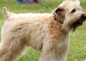 A Soft Coated Wheaten Terrier.