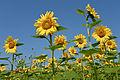Sonnenblumen Biohof Tomic 18072014 678.jpg