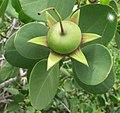 Sonneratia alba - fruit (8349980264).jpg