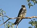 Sooty Falcon, Allée des Baobabs near Morondava, Madagascar 1.jpg