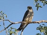 Sooty Falcon, Allée des Baobabs near Morondava, Madagascar 1