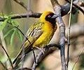 Southern Masked Weaver male RWD.jpg
