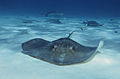 Southern stingrays at stingray city.jpg