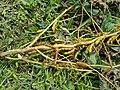 Soybean stem canker.jpg