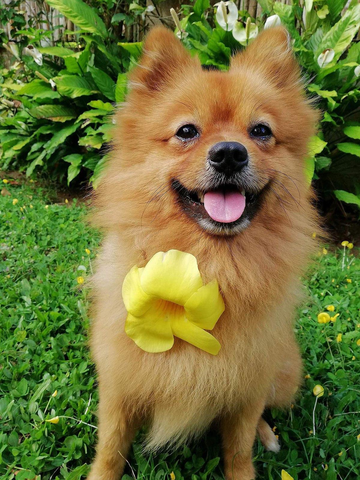 72728d8276f2 Pomeranian (dog) - Wikipedia