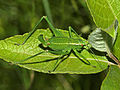 Speckled Bush-cricket nymph - Leptophyes punctatissima (14729086138).jpg