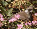 Speckled Mousebird (Colius striatus kiwuensis).jpg