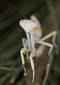Sphodropoda tristis (14338875698).jpg