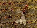 Spiny-waisted ants hunting termite alates - Flickr - treegrow.jpg