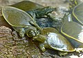 Spiny Softshell Turtles (Apalone spinifera) juvenile (9186492956).jpg