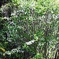 Spiraea prunifolia tree.jpg