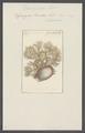 Spongia frondosa - - Print - Iconographia Zoologica - Special Collections University of Amsterdam - UBAINV0274 112 02 0032.tif