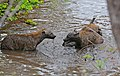 Spotted Hyaenas (Crocuta crocuta) playing in the water ... (33085210172).jpg