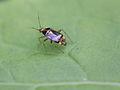 Spotted Nettle-bug (Miridae- Liocoris tripustulatus) (7099202043).jpg