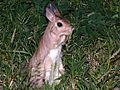 Spring Hare (Pedetes capensis) (6041551291).jpg