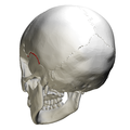 Squamosal suture - skull - posterior view.png