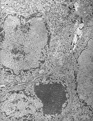 St. Louis Encephalitis (SLE) virus