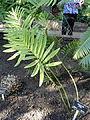 Stangeria eriopus - Balboa Park Botanical Building - DSC06766.JPG