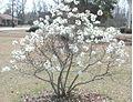 Star magnolia 8854.JPG