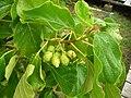 Starr-041228-2488-Cordia subcordata-fruits-Honokanaia-Kahoolawe (24355525449).jpg