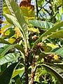 Starr-080103-1432-Eriobotrya japonica-fruit and leaves-Lowes Garden Center Kahului-Maui (24606558670).jpg