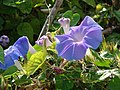 Starr-080531-4695-Ipomoea indica-Flowers and leaves-Captain Brooks Sand Island-Midway Atoll (24615112270).jpg