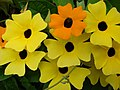 Starr-080716-9360-Thunbergia alata-cv Sundance yellow flowers-Enchanting Gardens of Kula-Maui (24897766056).jpg
