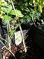 Starr-081031-0406-Anethum graveolens-stem-Makawao-Maui (24631240330).jpg