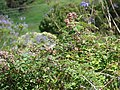Starr-090520-8129-Rubus niveus-fruiting habit-Kula-Maui (24588191669).jpg
