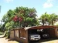 Starr-090609-0360-Syzygium malaccense-flowering habit-Haiku-Maui (24845252702).jpg