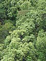 Starr-090618-1079-Aleurites moluccana-treetops-Hana Hwy-Maui (24965555625).jpg